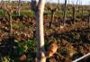 Evolution de la vigne au printemps